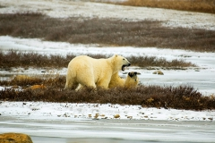 hudson-bay-polar-bears
