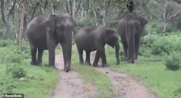 Tourist films wild elephants charging sightseeing van on safari