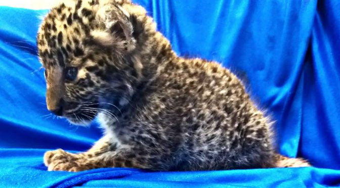 Leopard Cub Found In Luggage At Indian Airport