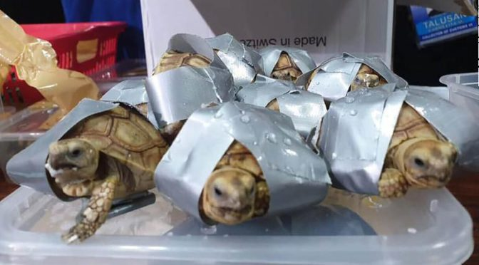 More than 1,500 live turtles found duct-taped and stuffed in suitcases