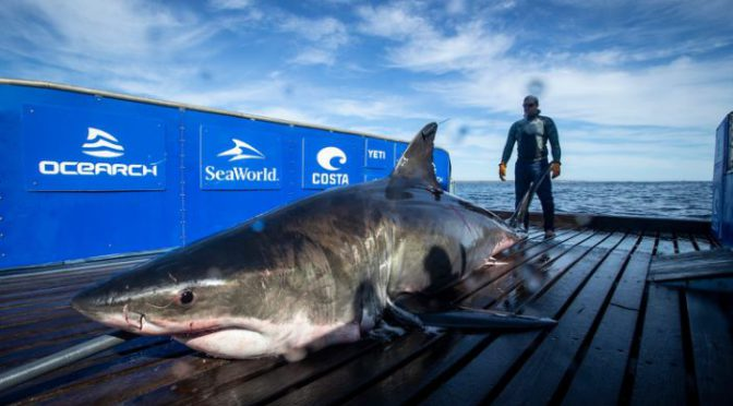 2,000-pound great white shark pings off Florida Gulf coast