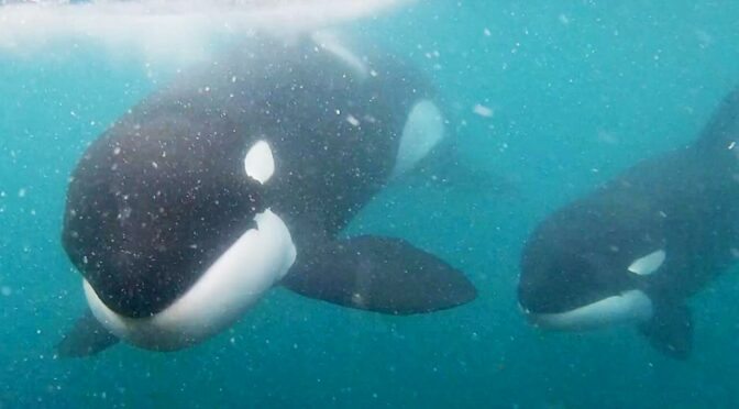 Incredible moment killer whales brush past swimmer in New Zealand